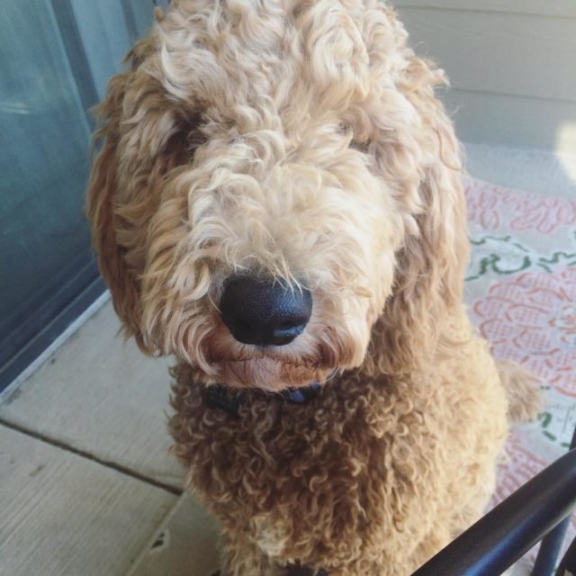 Happy nationalpuppyday to the cutest snuggliest goldendoodle there ever washellip